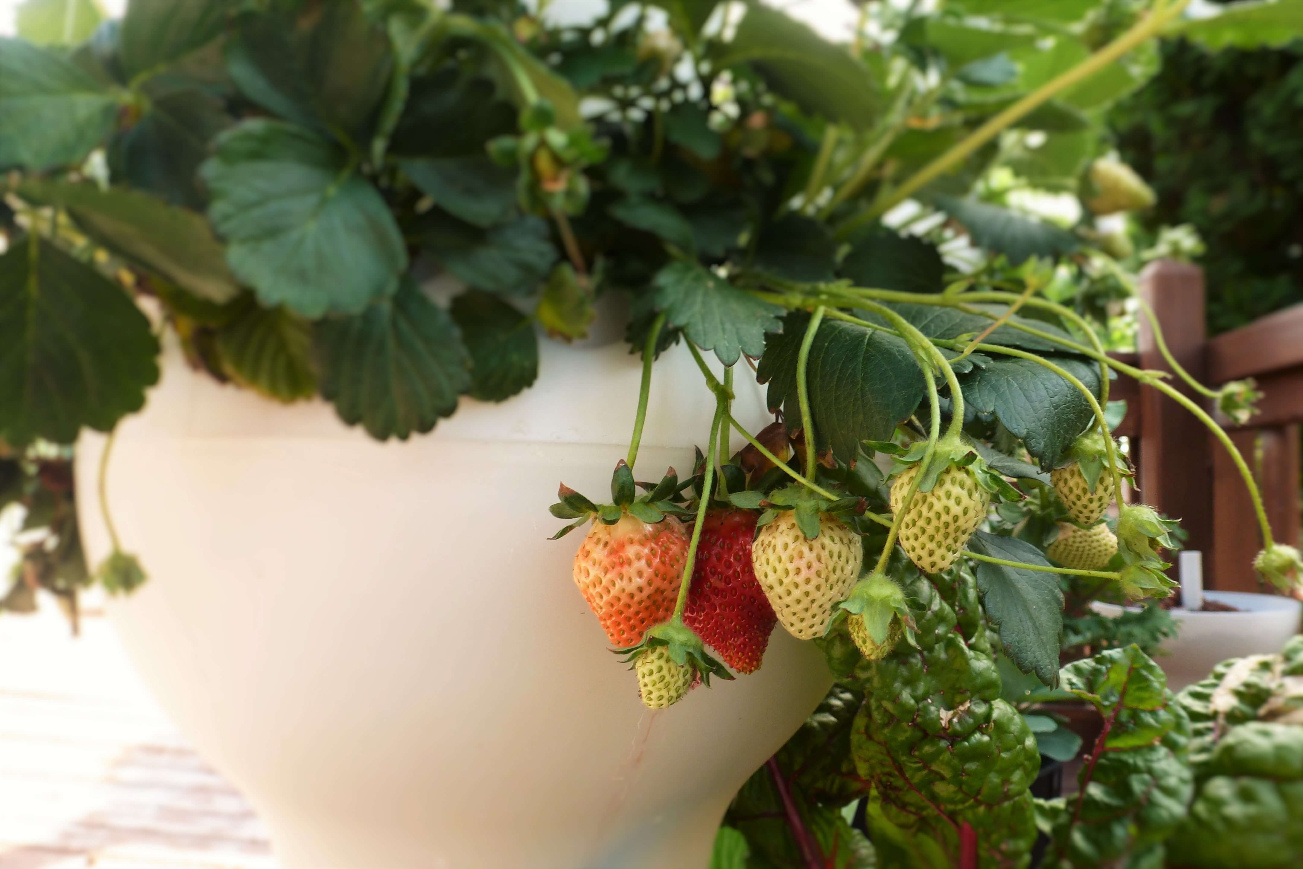 גידול הידרופוני של תותי שדה בבית